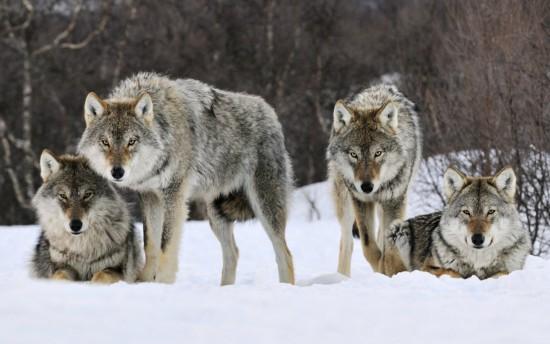 Resultado de imagen de manada de lobos nocturno