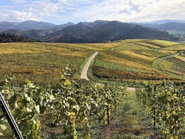 viñedos cultivo ecológico