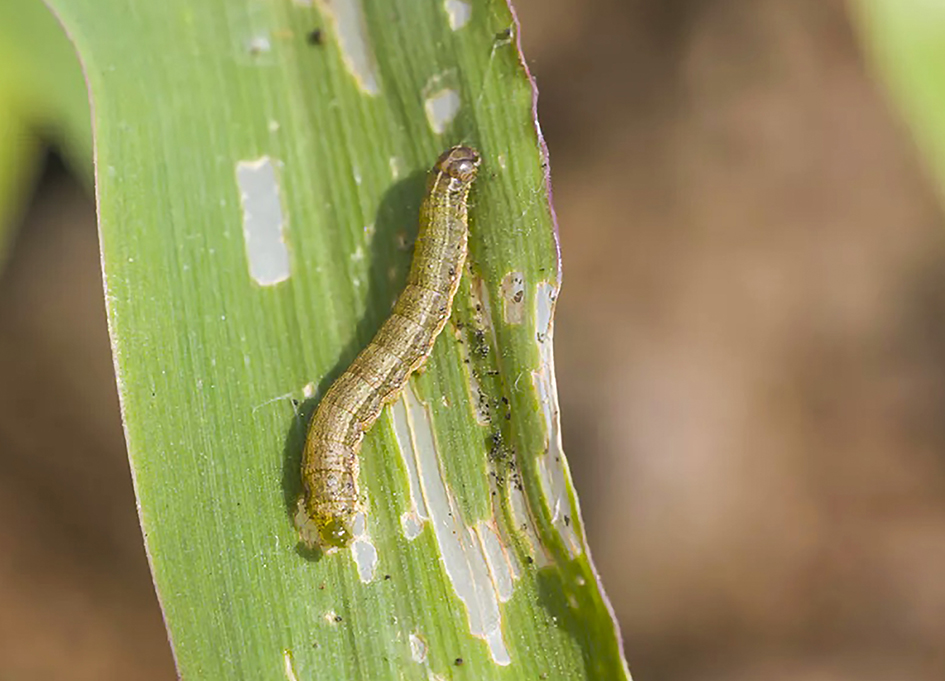 Outbreak of Army Worm in Zambezi Region