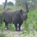 Rhino spotted in mahangu field
