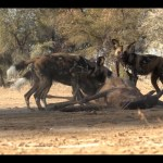 Wild dogs released on Zannier Reserve