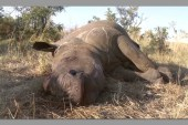 Poached rhino found near Halali