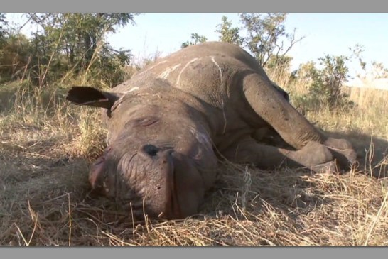 Poached rhino found near Halali