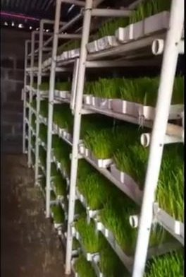 Farmer successfully grows own hydroponic fodder