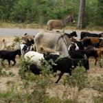 Goat thief arrested