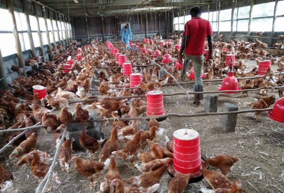 Community Poultry farming targets women and youth