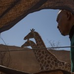 Giraffes will boost conservancy potential
