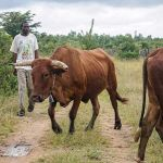 Cattle herder accused of stock theft