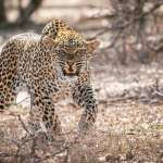 Leopard attacks goat herder and friends