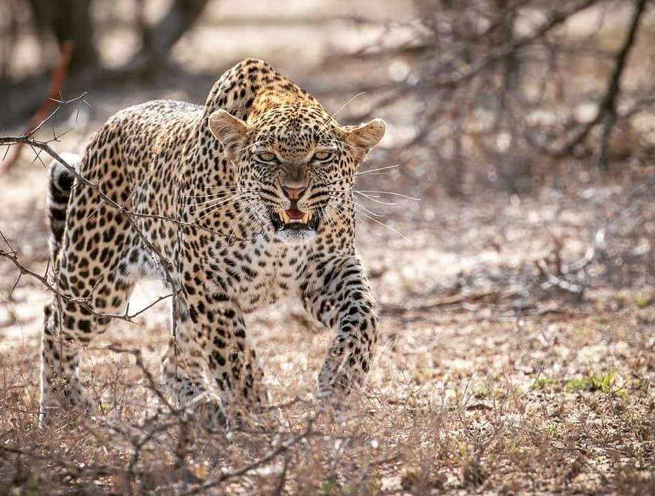 Leopard attacks goat herder friends informal settlement Usakos bare hands survived attack