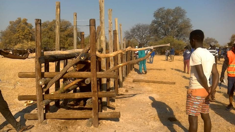 Northern farmers cattle herds licestock farmers Ohangwena Region drought animals