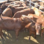 Shortage of cattle for slaughter