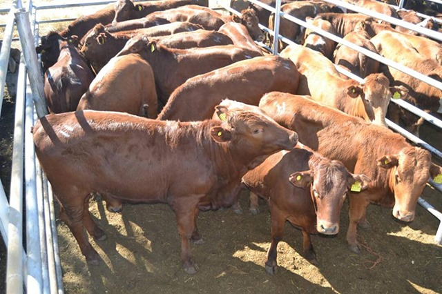 Shortage cattle slaughter Meatco production animals marketing sales Andre Mouton