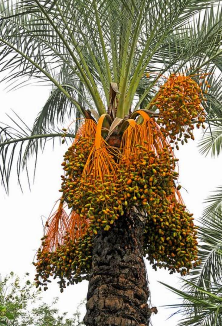Al-Dhahra offers small wage increment NDC Date Palm Development company Naute Dam //Karas Region