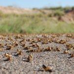 Locust plague in Karas region