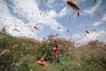 Oshipaxu invasion bugs Omusati