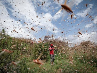 Oshipaxu invasion bugs Omusati swarms locusts Ohangwena Region insects
