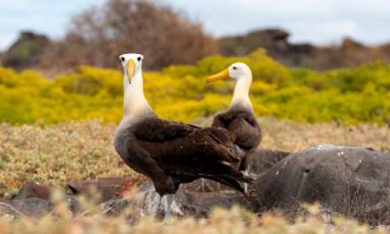Acciones para la conservación de los albatros de Galápagos