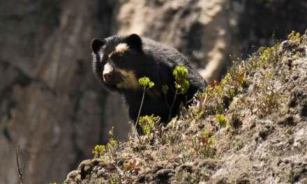 Los osos andinos en Ecuador deben tratarse como Unidad de Manejo Única para fines de conservación