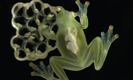 En Ecuador habitan 60 especies de ranas de cristal