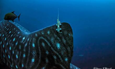 Llegó a Costa Rica, una tiburón ballena que partió de Galápagos hace tres semanas