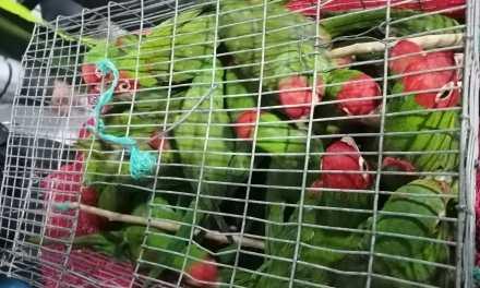 La comercialización ilegal de 53 pericos caretirrojo se evitó en Loja
