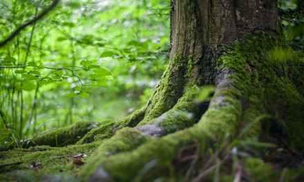 Investigadores describen una nueva especie de planta del género Leptoscyphus en Ecuador