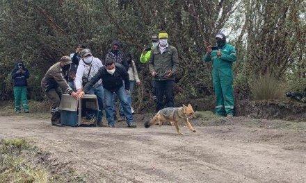 Una loba de páramo que había sido incautada en Cochasquí, fue liberada