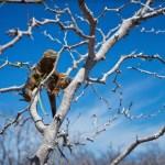 Las iguanas terrestres contribuyen a la restauración ecológica de Galápagos
