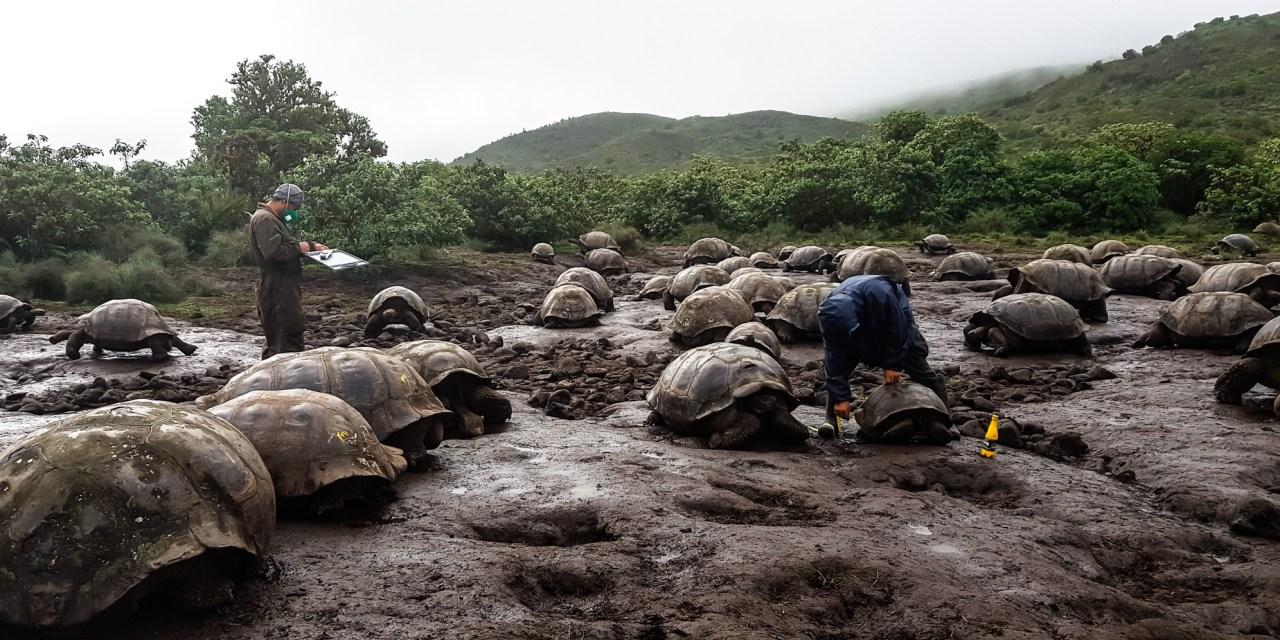 Tortugas gigantes del volcán Alcedo son las más saludables de Galápagos