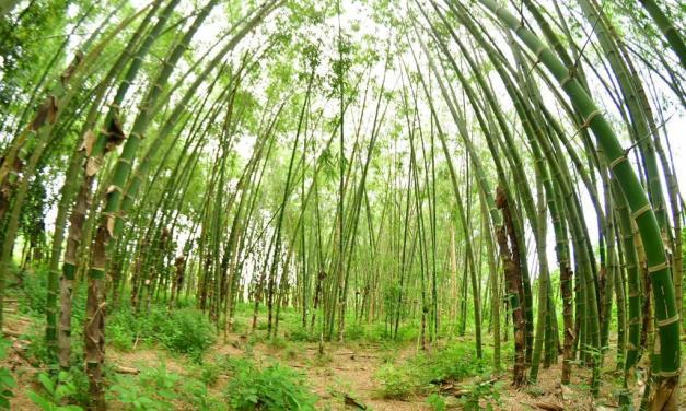 El bambú se convierte en una nueva fuente de inversión en el país.