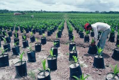 palm oil farm