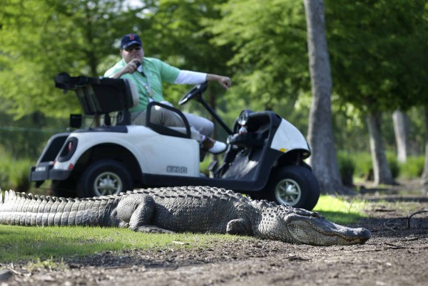 alligator_golf_3