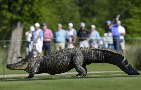 alligator_golf_5