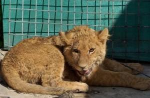 pet lionn