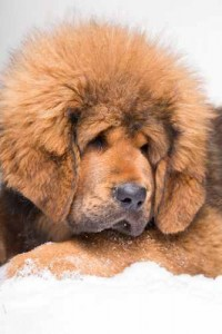 This is a file photo of a Tibetan mastiff puppy, not the $2 million puppy.