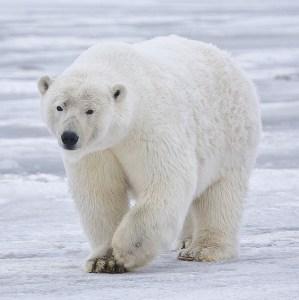Polar-Bear-In-Alaska