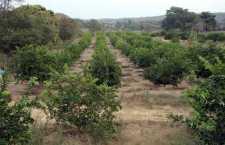 Alerta entre productores de la Cuenca por enfermedad en cultivo de cítricos, hay un foco rojo en Cotzocón
