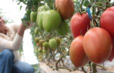 En Oaxaca, el cultivo de tomate está en crisis