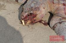 Localizan más de 100 tortugas muertas en litoral de Chiapas