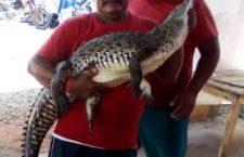 Aparece cocodrilo de casi 2 metros en playa de Puerto Escondido