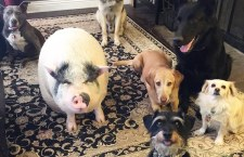 Este cerdito fue criado con 5 perros rescatados y ahora se cree uno de ellos
