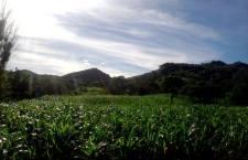 Buscan en Huajuapan producir unas 700 toneladas de maíz