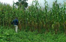 """El llamado """"maíz del futuro"""" de Totontepec Mixe está en riesgo de ser pirateado"""