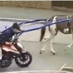 VIDEO: Vea cómo dos ladrones remolcan con un caballo una motocicleta robada