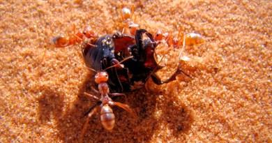 La hormiga más rápida del mundo alcanza una velocidad récord de 855 mm/s