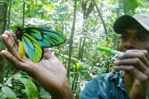 The Queen Alexandra birdwing butterfly