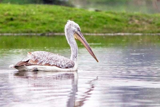 pelican biggest flying bird in the world