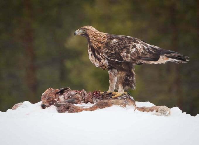 golden eagle maximum flying speed