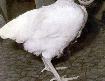 Info Santai: Ayam Jantan Ini Hidup Setahun Setengah Tanpa Kepala!